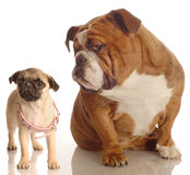 Bulldog and pug puppy Royalty Free Stock Image