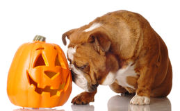 Bulldog and pumpkin Stock Photo