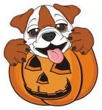 Bulldog with pumpkin Royalty Free Stock Photography