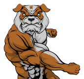 Bulldog Punching. Tough mean muscular bulldog character or sports mascot in a fight punching with fist Stock Images