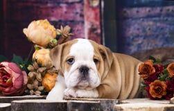 Bulldog pupp Royalty Free Stock Photos