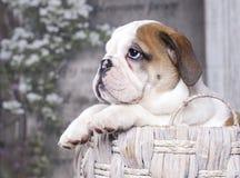 Bulldog pupp Stock Photos