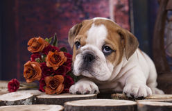 Bulldog pupp Royalty Free Stock Image