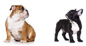 Bulldog pupp Stock Image