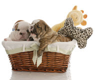 Bulldog puppies in a basket Royalty Free Stock Photo