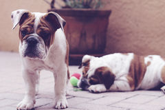 Bulldog puppies best friends Stock Images