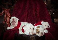 Bulldog puppies for Christmas Stock Photo