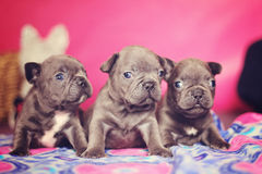 Bulldog puppies Stock Images
