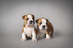 Bulldog puppies Stock Photography