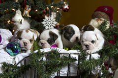Bulldog puppies with ornament in sleigh Stock Photos