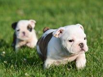 Bulldog puppies playing Royalty Free Stock Images