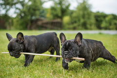 Bulldog puppies playing with a stick on the green  Royalty Free Stock Photography
