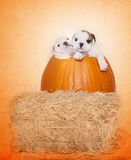 Bulldog puppies in a pumpkin. A Fall - Halloween shot of two cute bulldog puppies in a pumpkin royalty free stock photography