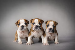 Bulldog puppies Stock Photos