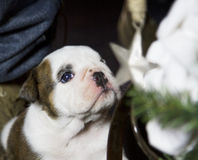 Bulldog puppies wishing upon a Star Stock Image