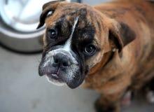 Bulldog puppy. Sitting next to his dish royalty free stock image