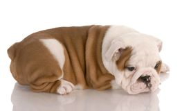 Bulldog puppy Stock Photography