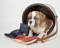 Bulldog Puppy Royalty Free Stock Photography