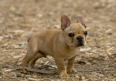 Bulldog puppy Royalty Free Stock Images