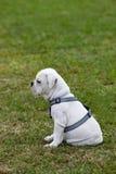 Bulldog Puppy. Cute Bulldog Puppy sitting outdoors on the grass Stock Photos
