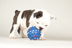 Bulldog puppy. Playing on colored background Stock Image