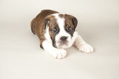 Bulldog puppy Stock Image