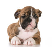 Bulldog puppy Royalty Free Stock Photos