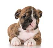 Bulldog puppy Royalty Free Stock Photos