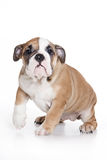 Bulldog puppy Royalty Free Stock Image