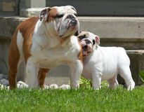 Bulldog puppy and adult Royalty Free Stock Photo
