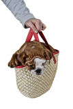 Bulldog puppy in a basket Stock Photos