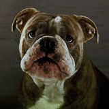 Bulldog puppy with beautiful expression Royalty Free Stock Images