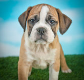 Bulldog Puppy Royalty Free Stock Photo