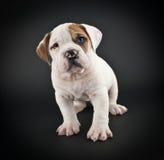 Bulldog Puppy Royalty Free Stock Images