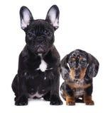 Bulldog  puppy and dachshund rabbit Stock Photography