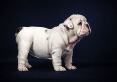 Bulldog puppy on dark background Royalty Free Stock Images