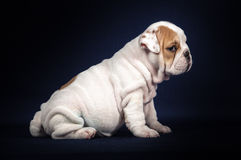 Bulldog puppy on dark background Stock Photography