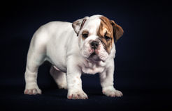 Bulldog puppy on dark background Royalty Free Stock Image