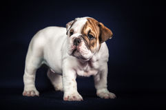 Bulldog puppy on dark background Stock Photo