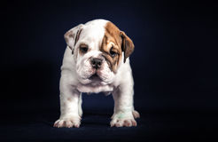 Bulldog puppy on dark background Stock Image