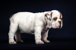 Bulldog puppy on dark background Stock Photos