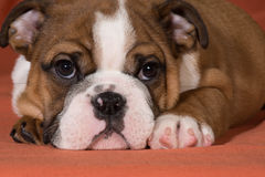 Bulldog puppy Stock Image