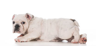 Bulldog puppy Stock Photos