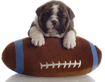 Bulldog puppy with football Royalty Free Stock Photo