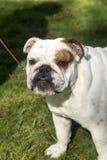 Bulldog puppy head shot outdoor portrait Stock Photos