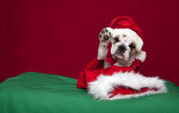 Bulldog puppy Holiday waiving portrait. A bulldog puppy Holiday waiving portrait royalty free stock photos