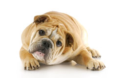 Bulldog puppy laying down Royalty Free Stock Image