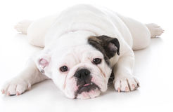 Bulldog puppy laying down Royalty Free Stock Photos