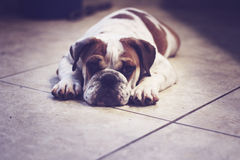 Bulldog puppy laying down Stock Images