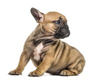 Bulldog puppy looking backwards,  Royalty Free Stock Images